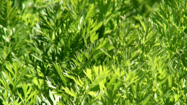 cu view of carrot leaves in field / koblenz, rhineland-palatinate, germany - carrot stock videos and b-roll footage