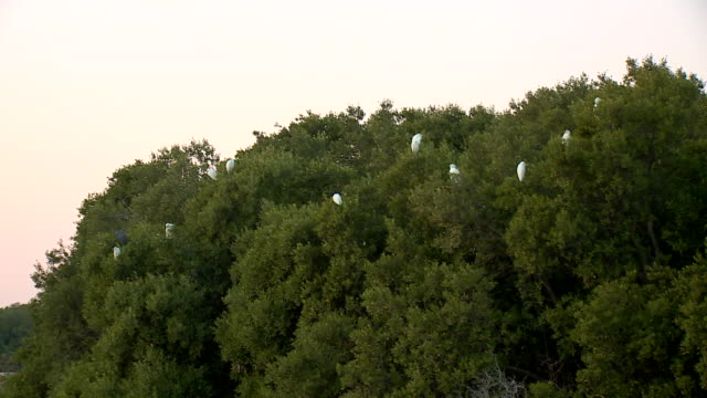 view of cattle egrets, a type of heron, roosting in the mangroves of the mangrove national park. - egret stock videos & royalty-free footage
