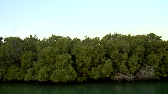view of cattle egrets, a type of heron, taking flight in the mangrove national park. - egret stock videos & royalty-free footage