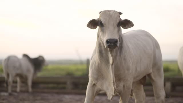 stockvideo's en b-roll-footage met mening van veekoppel op de kraal, mato grosso, brazilië - livestock