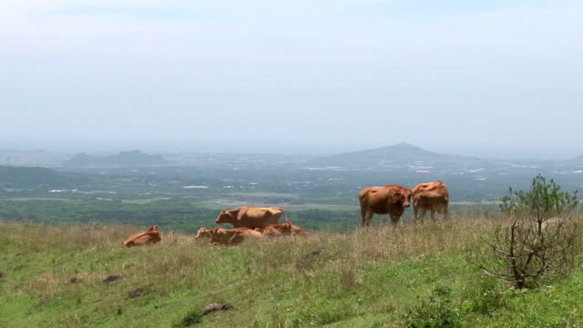 vídeos de stock e filmes b-roll de ws view of cattle grazing in dangoreum mountain / jeju, jeju-do, south korea - mamífero ungulado