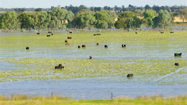 ws aerial zo view of cattle grazing in floods / griffith, new south wales, australia - cattle stock videos & royalty-free footage