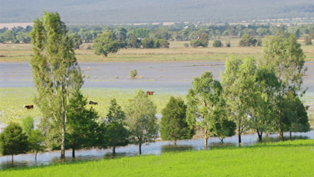 ws aerial view of cattle grazing in floods / griffith, new south wales, australia - cattle stock videos & royalty-free footage