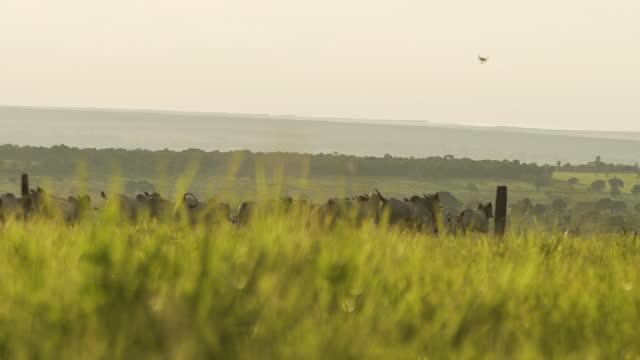 vídeos de stock, filmes e b-roll de vista da pastagem de gado, mato grosso, brasil - manada