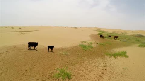 vídeos y material grabado en eventos de stock de ws aerial view of cattle near lake in tengger desert/alashan, inner mongolia, china. - grupo mediano de animales