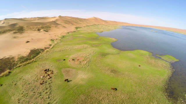 ws aerial view of cattle near lake in tengger desert/alashan, inner mongolia, china. - tengger stock videos & royalty-free footage