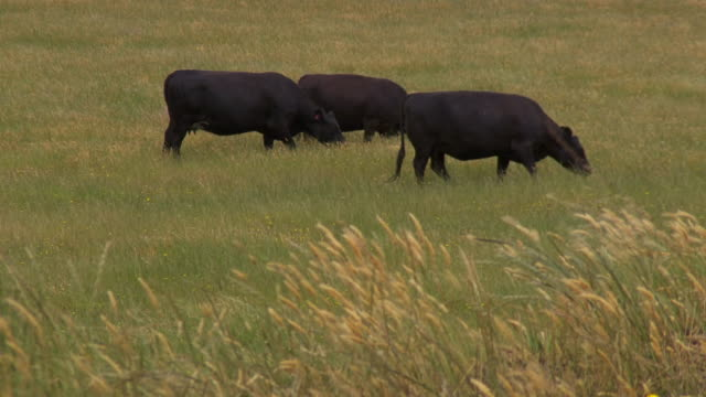 ws view of cattle on grass / macarthur, victoria, australia - small group of animals stock videos & royalty-free footage