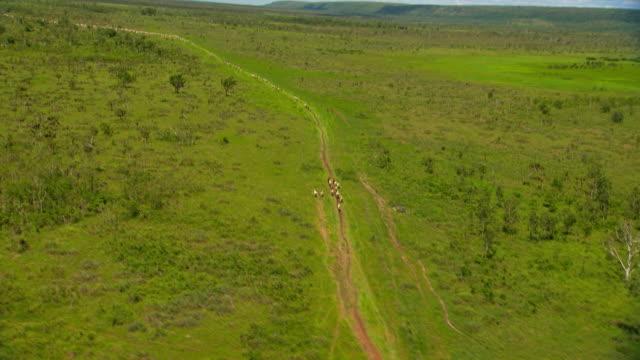 WS AERIAL View of Cattle / Rakula, Northern Territory, Australia
