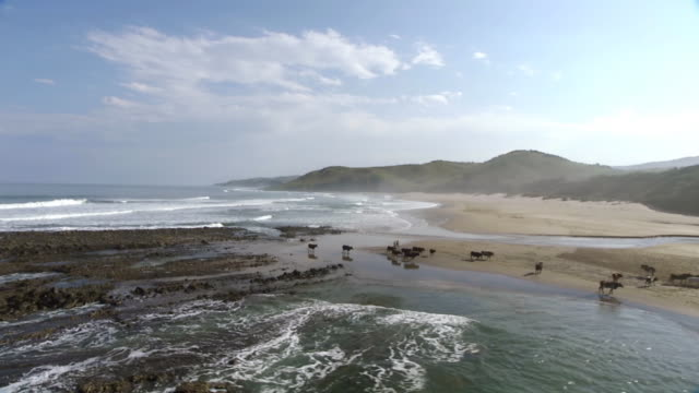 WS AERIAL DS View of cattles on beach / Eastern Cape, South Africa