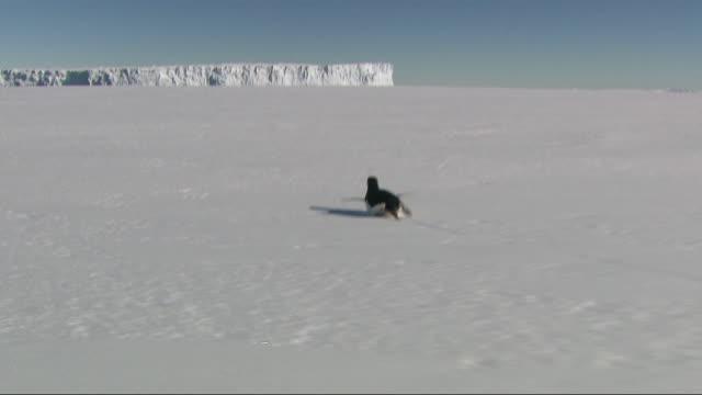 ws pov view of chasing penguin in snow / antarctica - ペンギン点の映像素材/bロール
