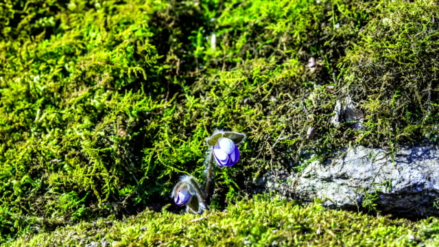 view of cheongnorugwi (hepatica asiatica and spring flower) blooming at hwacheongun - bud stock videos & royalty-free footage