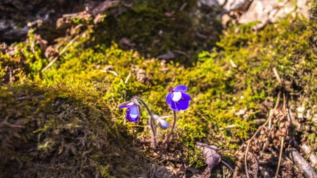 vídeos y material grabado en eventos de stock de view of cheongnorugwi(hepatica asiatica and spring flower) blooming - musgo flora
