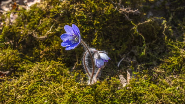 view of cheongnorugwi(hepatica asiatica and spring flower) blooming - muschio video stock e b–roll