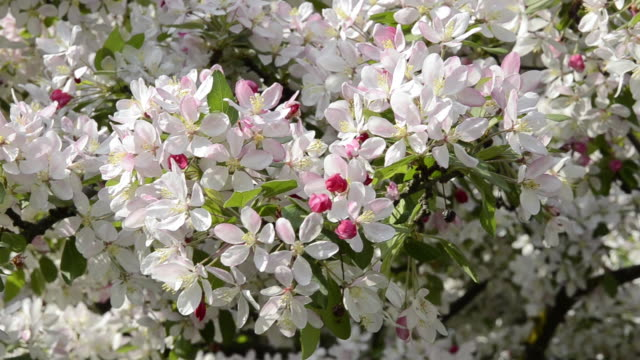 cu view of cherry blooming tree / landshut, bavaria, germany - orchard stock videos and b-roll footage