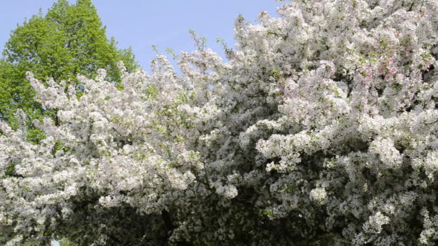 ms pan view of cherry blooming tree / landshut, bavaria, germany - orchard stock videos and b-roll footage
