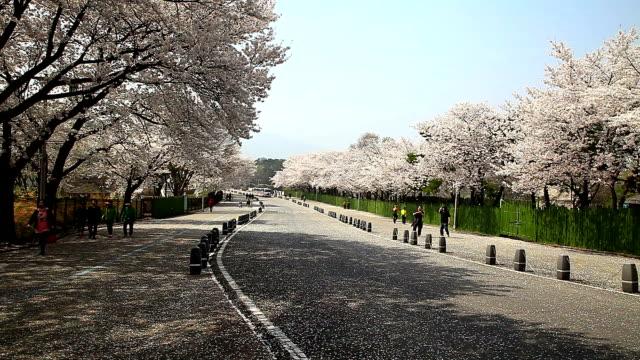 view of cherry blossom at seoul grandpark - von bäumen gesäumt stock-videos und b-roll-filmmaterial