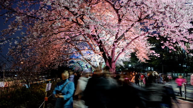 View of cherry blossom festival and people at Yunjungno road in Yeouido at night in spring