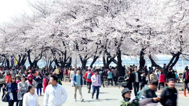 View of cherry blossom festival and people at Yunjungno road in Yeouido in spring