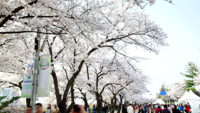 View of cherry blossom festival and people at Yunjungno road in Yeouido