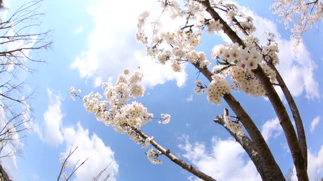 view of cherry blossom in daecheong daem - fish eye lens stock videos & royalty-free footage