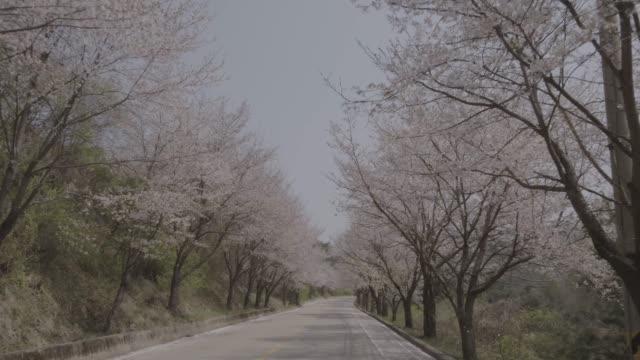view of cherry blossom road in chuncheon, south korea - 枝点の映像素材/bロール