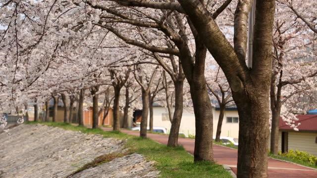 view of cherry blossom walkway in samcheok - von bäumen gesäumt stock-videos und b-roll-filmmaterial