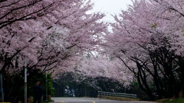 View of cherry blossoms on the way to Hwangnyeongsan mountain