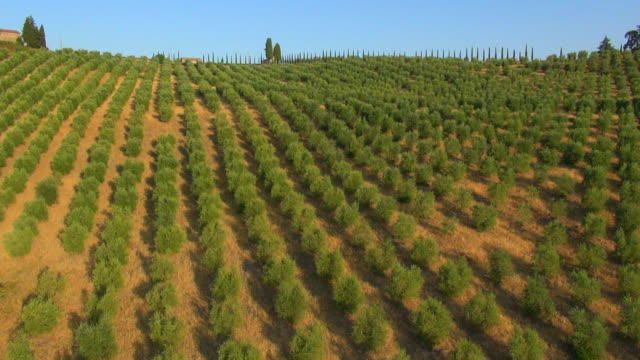 ms aerial view of chianti olive grove and vinyards / siena, tuscany, italy - orchard stock videos & royalty-free footage