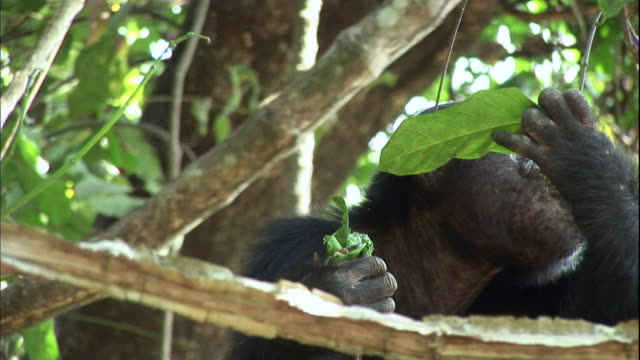 View of chimpanzee eating a hunted monkey with a leaf and  in Manyara national park (famous spot for study about chimpanzees) in Tanzania