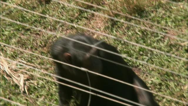 ms zi view of chimpanzee's eating / ngamba chimp sanctuary, ngamba island, uganda - fence stock videos & royalty-free footage