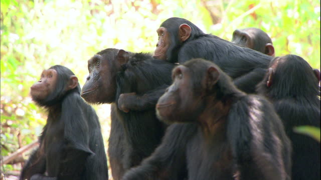 view of chimpanzees in manyara national park (famous spot for study about chimpanzees) in tanzania - tiergruppe stock-videos und b-roll-filmmaterial