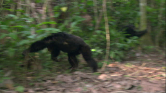 view of chimpanzees jumping around in manyara national park (famous spot for study about chimpanzees) in tanzania - chimpanzee stock videos & royalty-free footage
