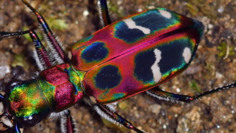 view of cicindela chinensis (tiger beetle) with fancy patterns on the ground in chuncheon, gangwon province, south korea - insect stock videos & royalty-free footage