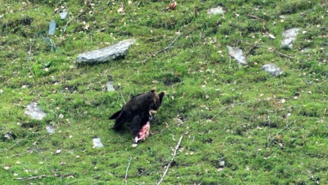 vídeos de stock, filmes e b-roll de ms view of cinereus vulture (aegypius monachus) eating carcas in mountains of caucasus / stepantsminda, kazbegi, georgia - boca animal