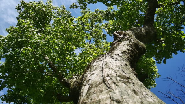vidéos et rushes de view of clear sky with zelkova tree - tronc d'arbre