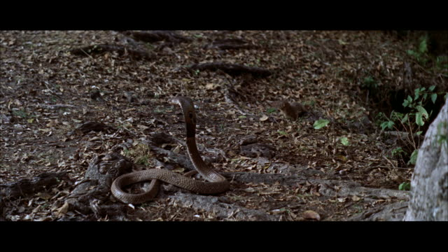 MS View of Cobra snake fighting with mongoose