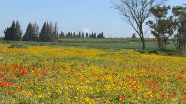 WS View of colorful wild anemonies blooming with agricultural field at spring / Galilee, Israel