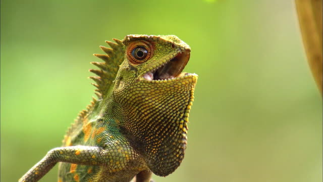 view of colorful wild lizard at java island - mouth open stock videos & royalty-free footage
