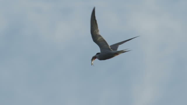ms ts view of common tern flying with fish in its bill / godalming, surrey, uk - fang stock-videos und b-roll-filmmaterial
