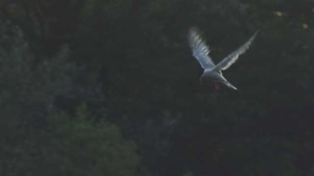 ws slo mo pan view of common tern hovering, swooping down and up over water / godalming, surrey, uk - rosso stock videos & royalty-free footage