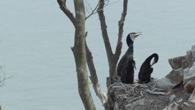 View of Cormorants on the cliff in Ongjin-gun (Natural habitat for endangered birds), Incheon