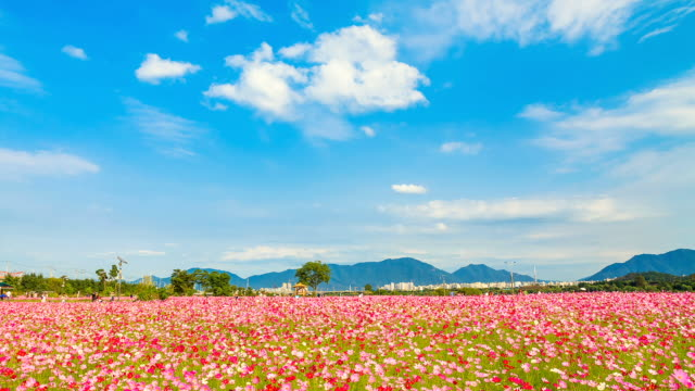 WS T/L View of Cosmos flower swaying inwind in Han river park / Guri, Gyeonggi do, South Korea