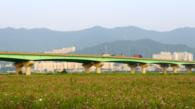 WS T/L View of Cosmos flowers bed in Samnakgangbyeon park and elevated road / Busan, Gyeongsangnam-do, South Korea