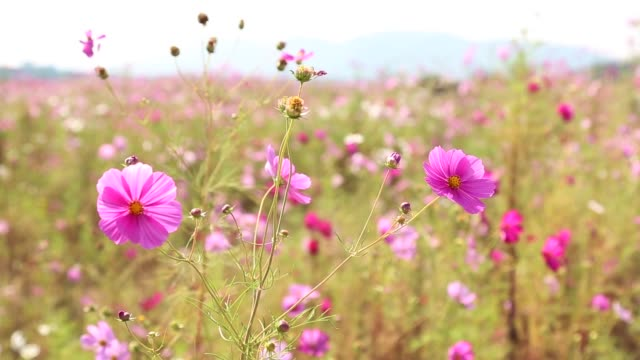 view of cosmos on the river island in daegu - daegu stock videos and b-roll footage