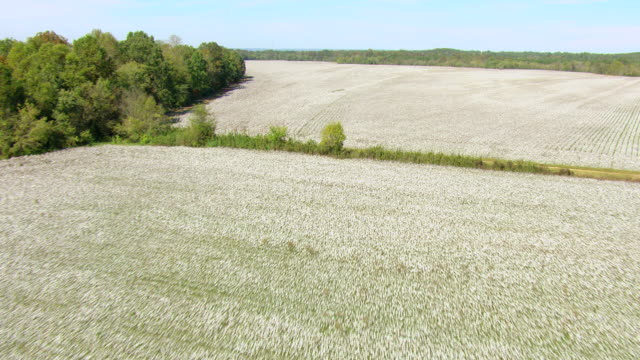 vídeos y material grabado en eventos de stock de ws aerial td view of cotton fields with white cotton growing in cherokee county / alabama, united states - cotton