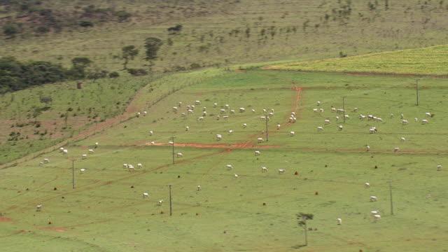 vidéos et rushes de cu aerial view of cow grazing on green field / brazil - brouter
