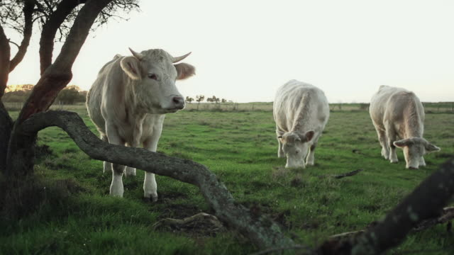 WS View of cow scratching tree / Corsept, Loire-Atlantique, France
