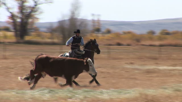 stockvideo's en b-roll-footage met view of cowboy driving cattle in wyoming united states - wyoming