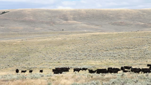 ws view of cowboy on horseback herding black cows across sagebrush covered prairie / white sulphur springs, montana, united states - herding stock-videos und b-roll-filmmaterial