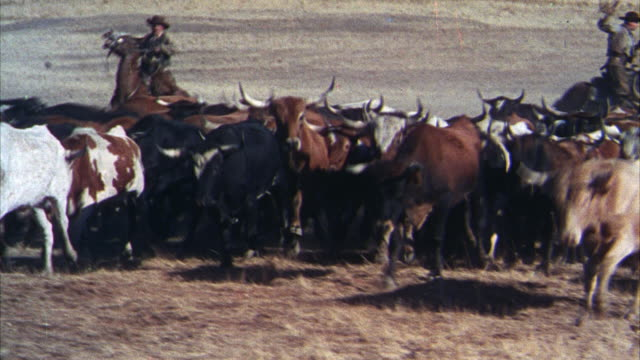 MS PAN View of cowboys riding on horse herding cattle